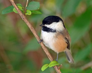 Chickadee, Maine State Bird